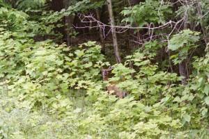 Doe Deep in Maples, Ontonagon County