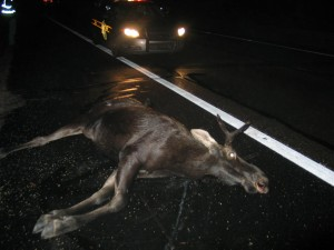 Dead Moose in Da Middle of Road -- Yooper version of old country favorite that featured a dead skunk.
