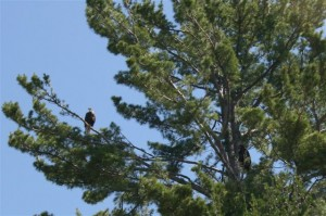 Eagle Family. Mom is to the left, young-un to the right. The nest in this tree sits almost right over a Lake Superior shorline,b ut the eagles don't seem to mind people wandering over to take look.