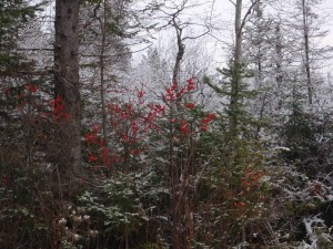 Nothing prettier than holly berries agains dark spruce and all covered with fresh hoarfrost.