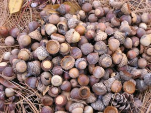November nuts in the local woodlot, beckoning creatures. Natural baiting by god...