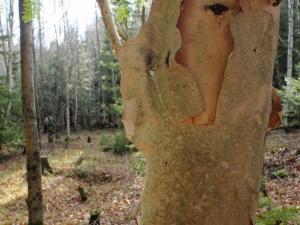 Birch tree, shedding skin. Menominee County.
