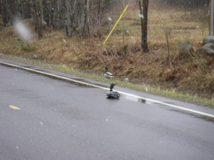 Call the Uh-Oh Squad. I'd heard of this but never seen it until a CO pal shared this photo. Loons sometimes mistake wet roads for water and land, and once down are trapped, because they need to run and flap wildly against the water to takeoff.