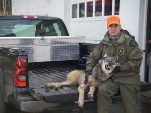 CO Wicklund with animal a hunter was claiming as the state record coyote. Whoops: It's a juvenile wolf.