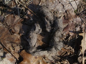 Classic hairy coyote scat in the forest
