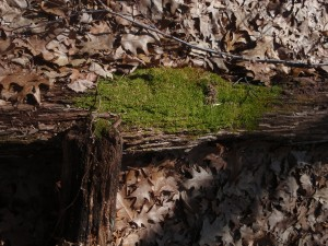 In a sea of dead oak leaves a splash of bright green moss in the sunlight can cause you to reach for your sunglasses.