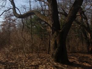 Ye mighty bending oak of olde. Where beith Robin and his band of highbinders?