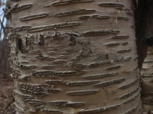 Yellow Birch flesh. Closeups of bark reveal all sorts of interesting textures and patersn