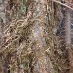 Hairy vines