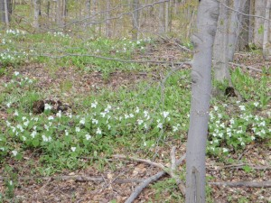 Trillium and dogwoods in bloom upland, marsh marigolds in the low areas, means most years that the morels are popping!
