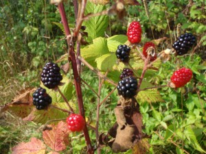 Blackberries just ripening in Woods of the Blu Bra, and if you eat them warmed by the sun, they are actually sweet!