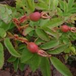 Squidberries...