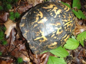 Eastrn Box Turtle. Rarely seen over large expanses of once native habitat in our state.