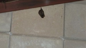 Bat on the wall, don't that beat all?