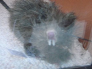 rat-too