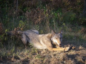 Wolf in coyote trap
