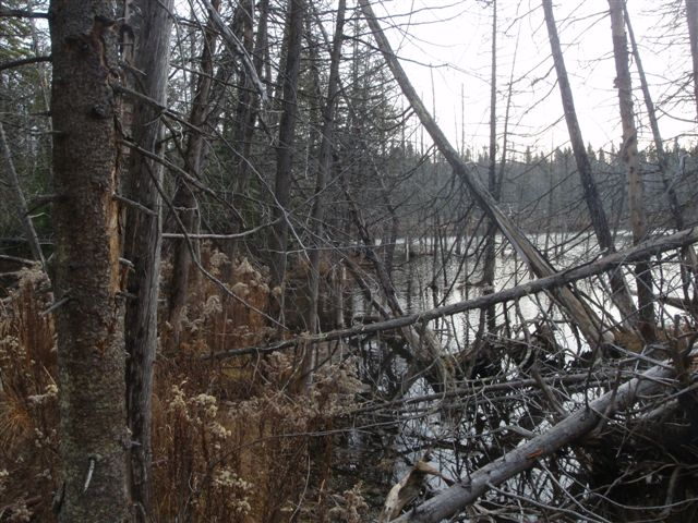 Crossing a beaver dam to look for reported bait piles