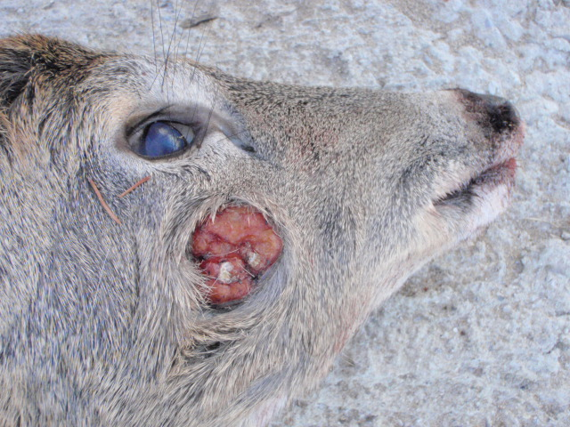 This deer has a sarcoma of some kind on it's face and another on its body. Sometimes you see some disturbing things in nature.
