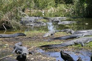 EvergladesNP-1