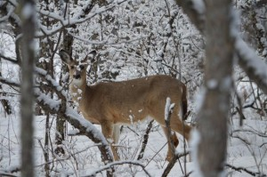Dave-Deer