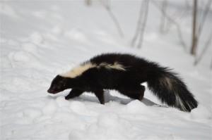 Dave - skunk