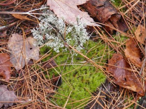 Reindeer lichen and some kind of moss living in symbiotic sinfulness.