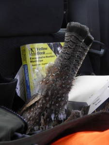 Grouse decoy in the back seat of the truck.