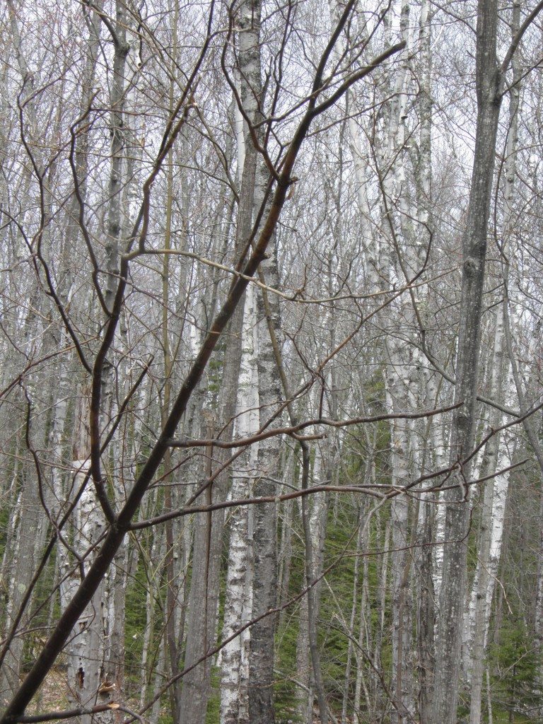 Lots of birch forests.