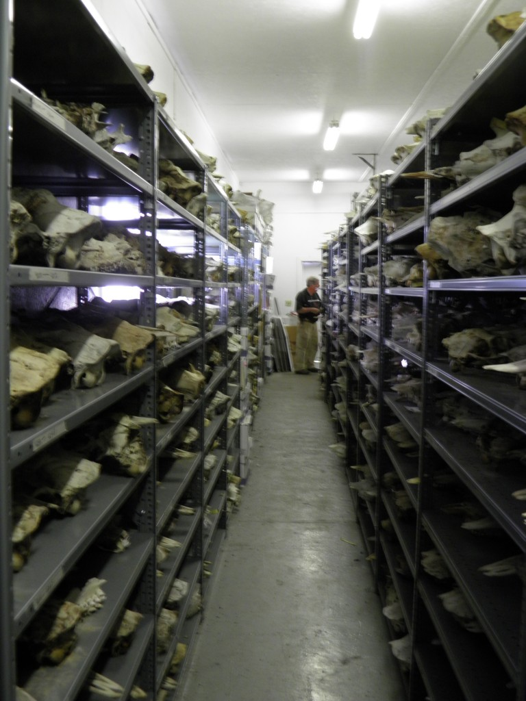 Retired researcher Rolf Peteson's collection of wold and moose skulls from 50-year study on Isle Royale.