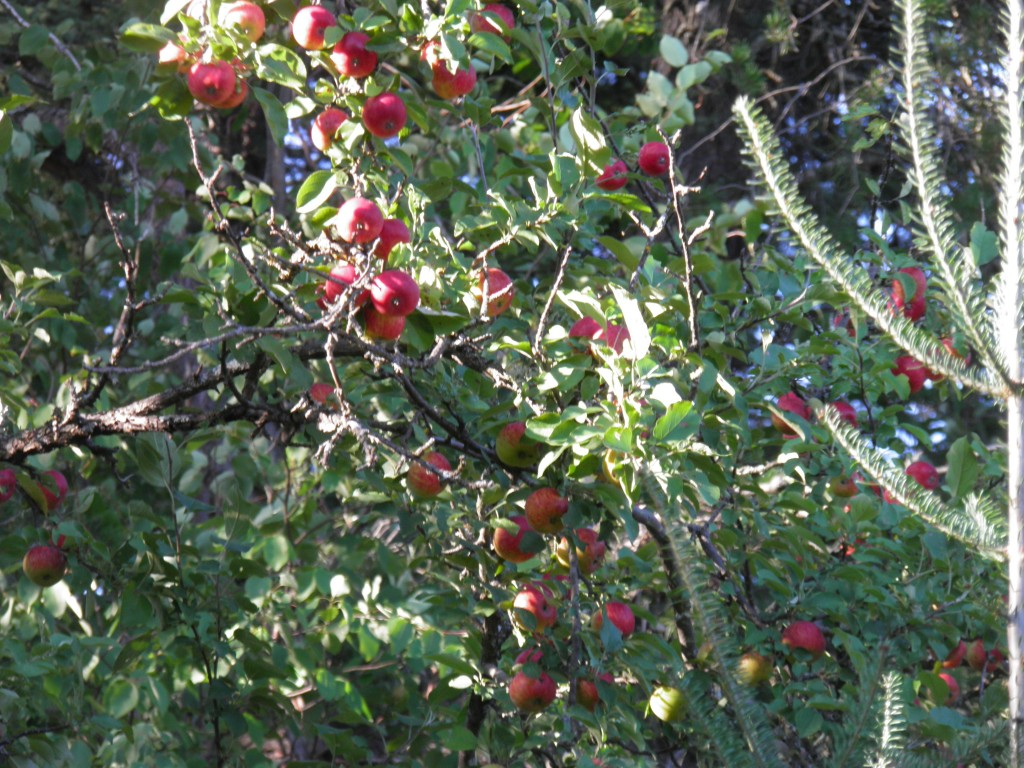 Apples ready to take the fall-fall.
