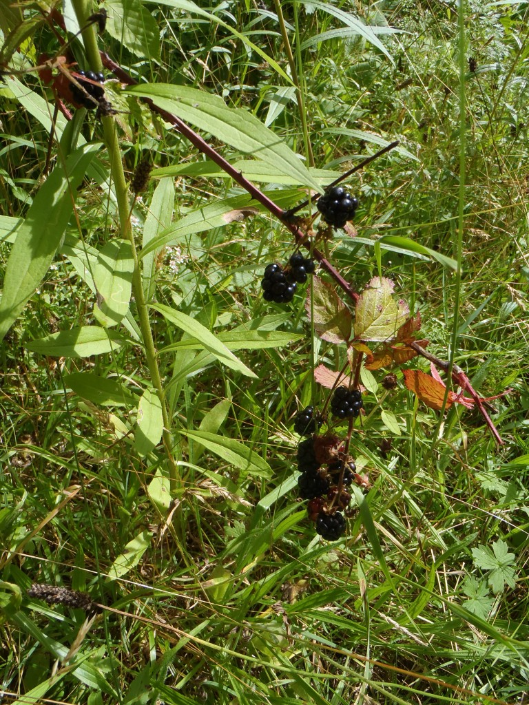 You keep hiking until you finally come upon the bonanza -- ripe berries!
