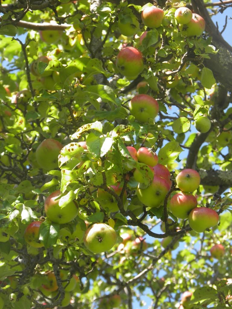 Les Pommes.