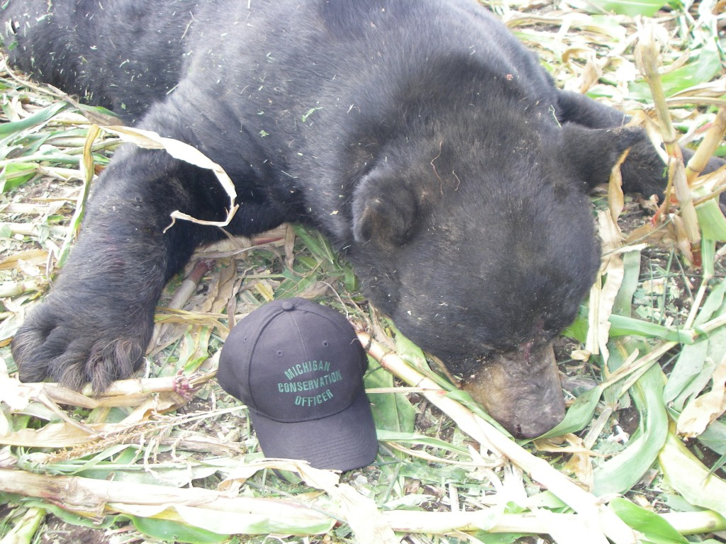 Menominee County bear, killed in cornfield by some sort of farm machine.