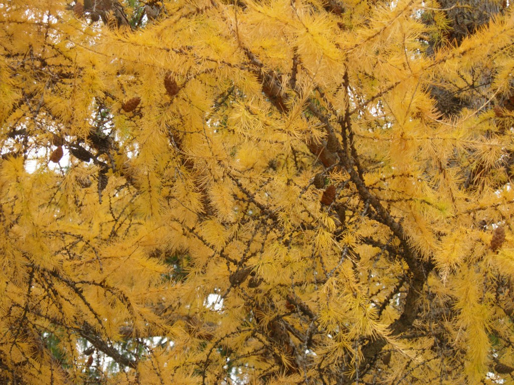 Tamarack in gold.