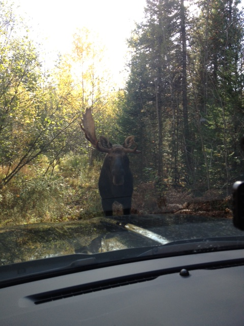 First the moose charged out of the popples to the front of the patrol truck.