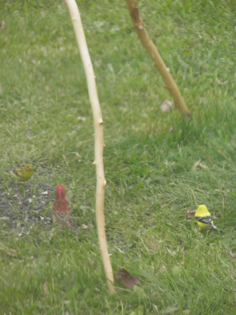 Keweenaw canary and pine grosbeak