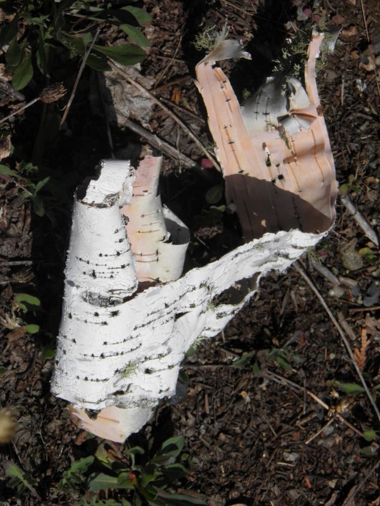 Paper birch paper