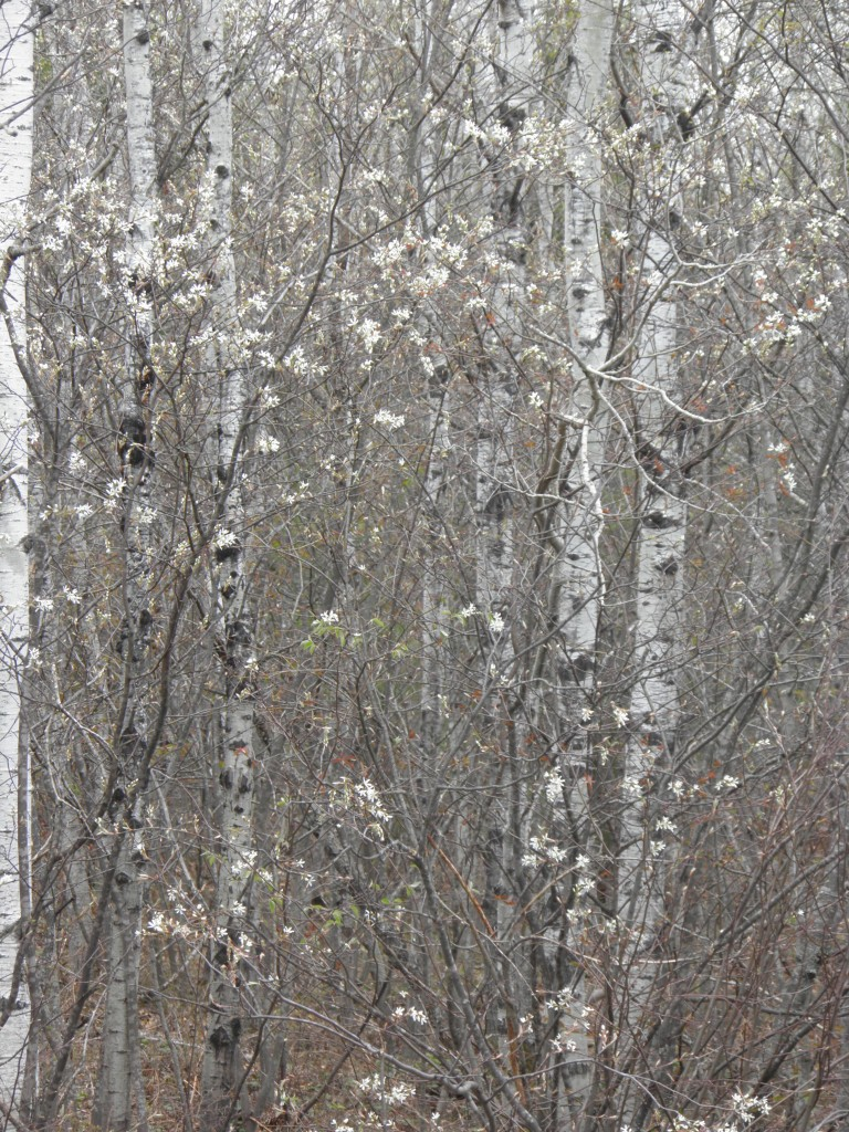 Service berry blossoms and birch bark