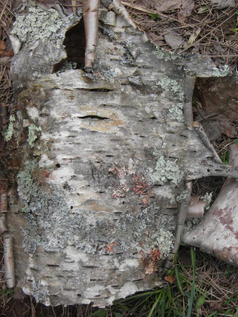 Birch close up.
