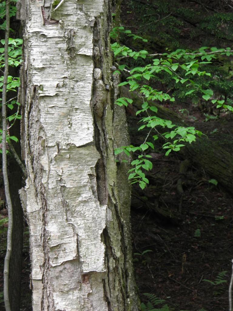 Birchbark forming into tiles?