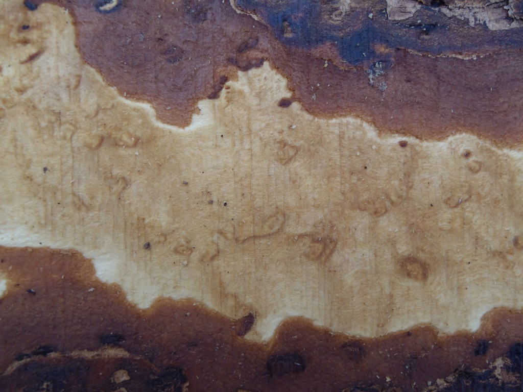 cross section, including some of the outer bark.