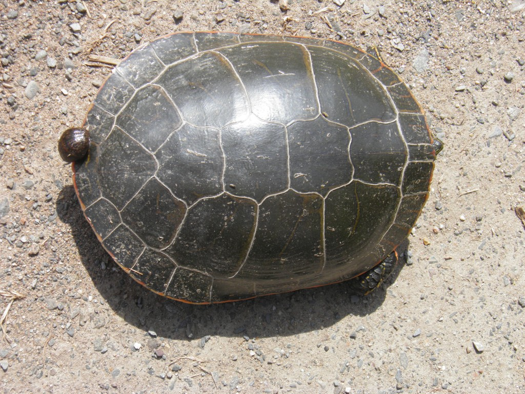 """Wasn't there a song, """"Hitchin a Ride?"""" No idea what this turtle is until we tip  it over."""