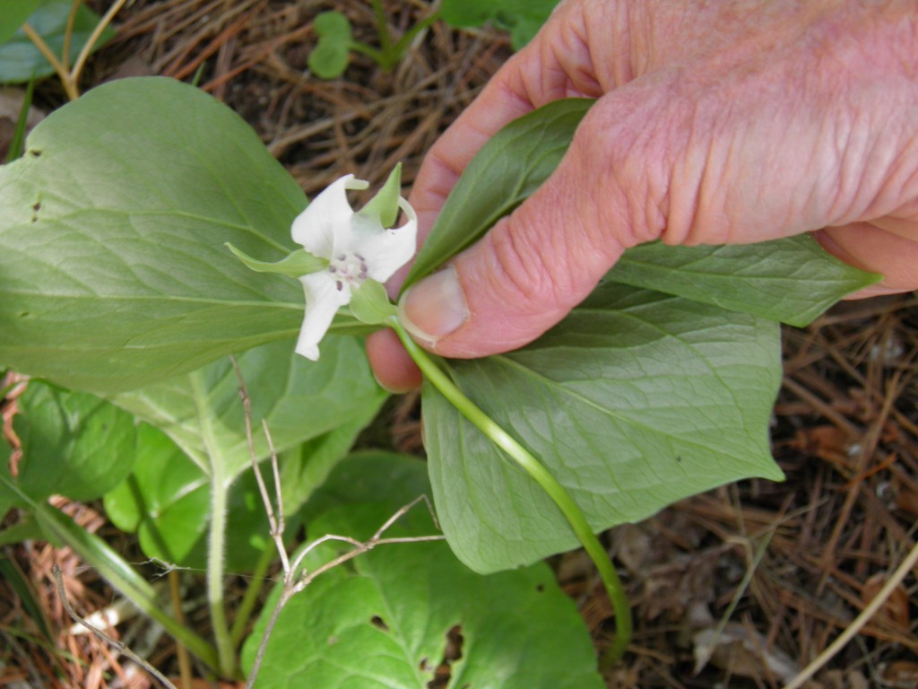 Another first for both of us, a nodding trilium, one of 9 types of trillium in Michigan.
