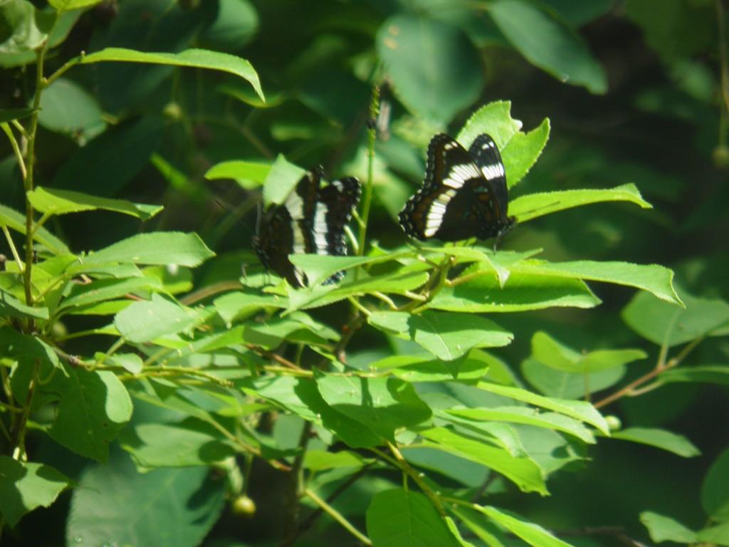 Les papillons noirs