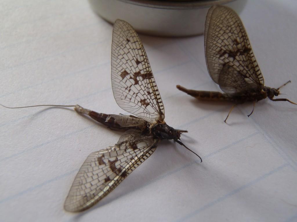 Mayflies  rising