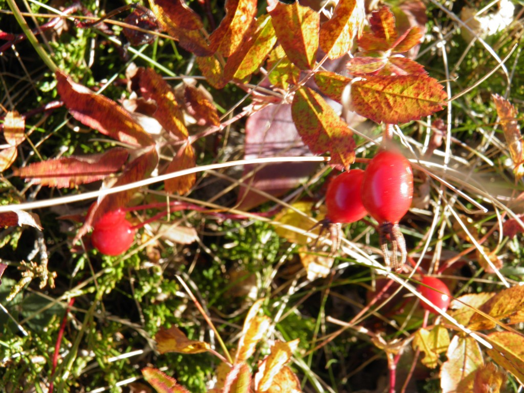 Rosehips on the mountain.