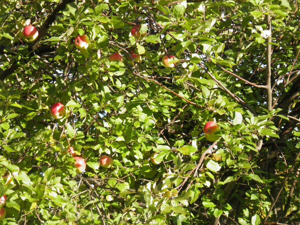 Apples turned wild