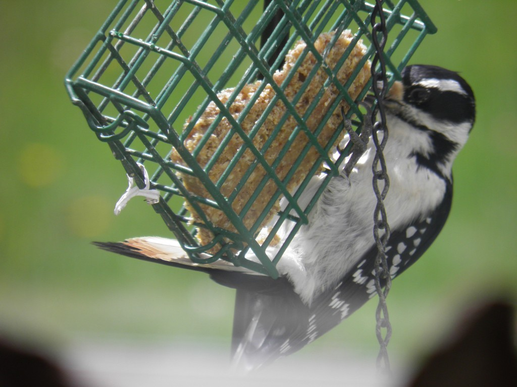 Hairy Woodpecker at chow.